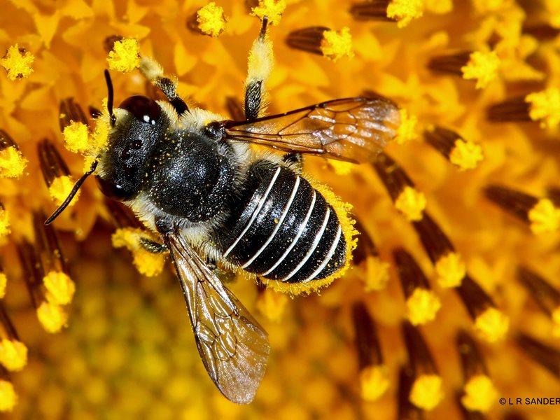 South African carder bee, Afranthidium Immanthidium repetitum Credit: Laurence Sanders