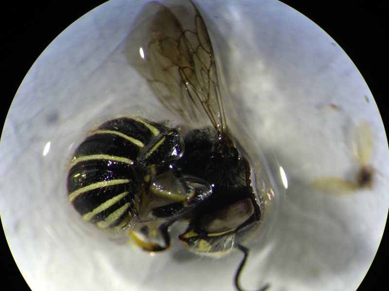 A remarkable photograph taken through the lens of a microscope with an iPhone camera; gives great detail, certainly ample for identifying it as the invasive South African carder bee, Afranthidium Immanthidium repetitum Credit: Jessica Baumann
