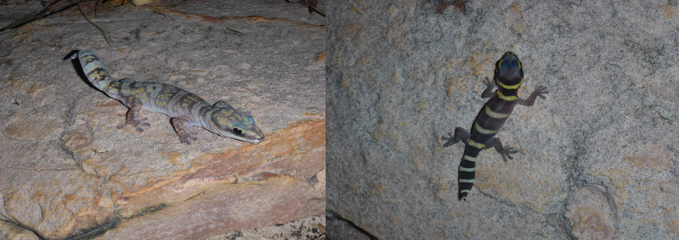 Bandayamah (Marbled Velvet Gecko, Oedura marmorata) in adult and juvenile colours.