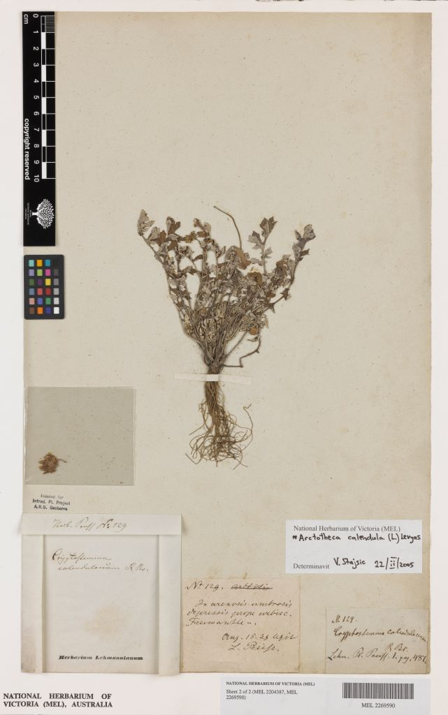 The first herbarium record of Arctotheca calendula (Cape weed) from Australia; collected at Fremantle in 1838 by Ludwig Preiss.