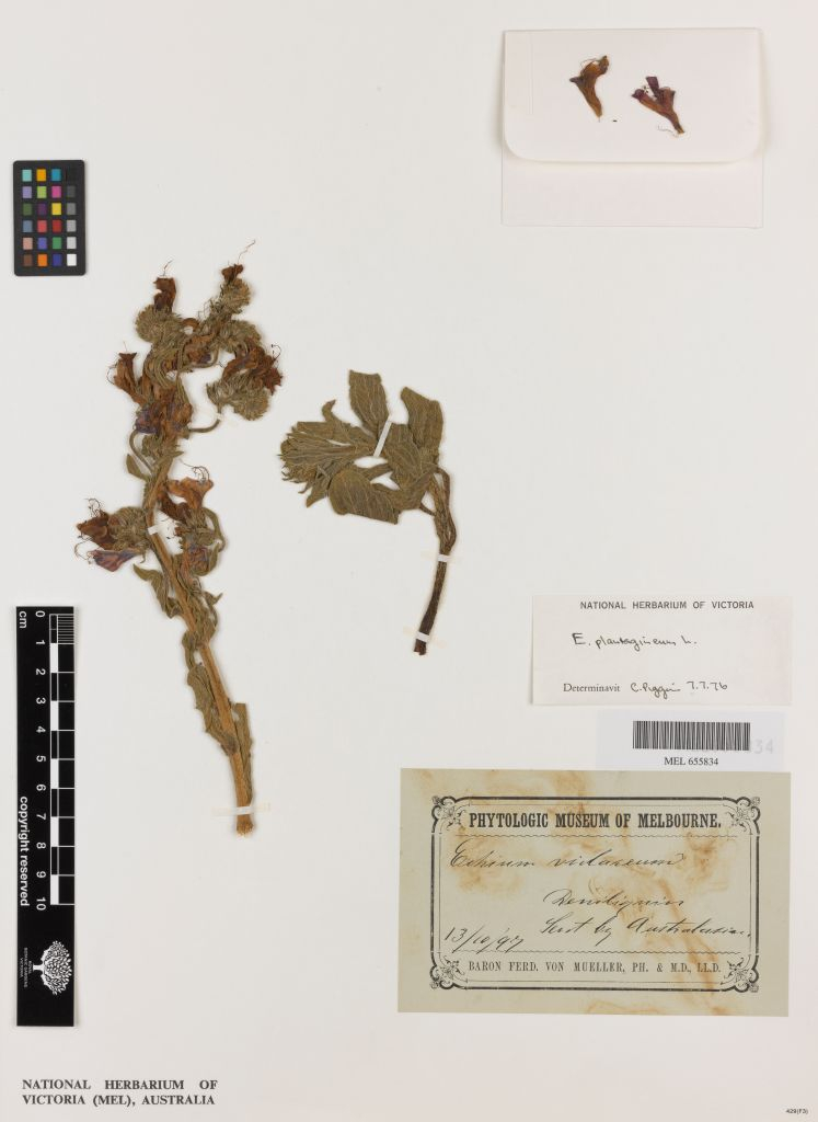 The first herbarium record of Echium plantagineum (Paterson's curse) from Australia; collected at Deniliquin in 1897 by an unknown collector.