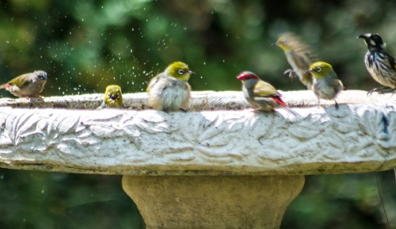 Image of New Holland Honeyeaters at bird bath
