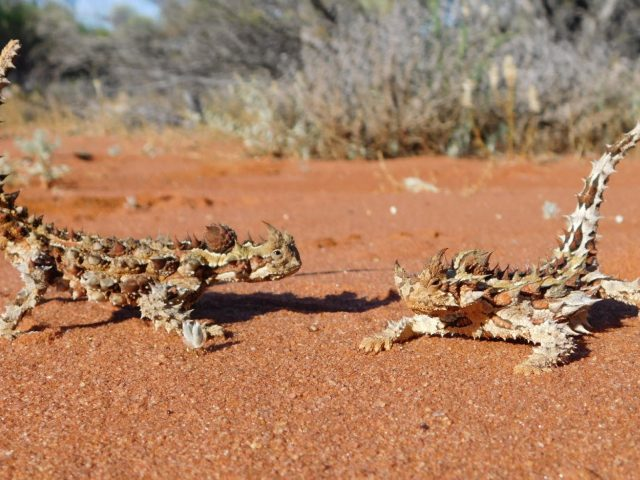 Record a sighting (Thorny Devil, image by Robert Browne-Cooper)