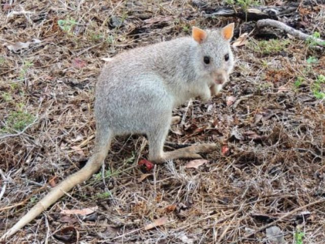 View Rufous Bettong species page