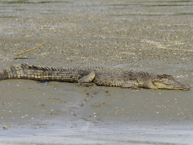 View Saltwater Crocodile species page
