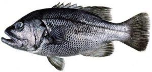 An image of the Glaucosoma hebraicum fish