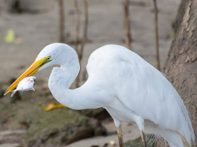 View Eastern Great Egret species page