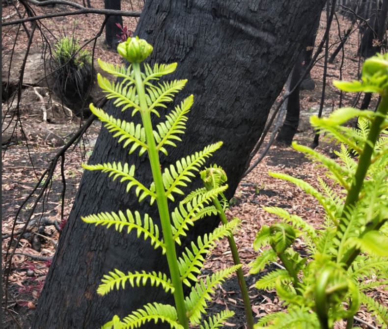 Green fern in front of burnt tree