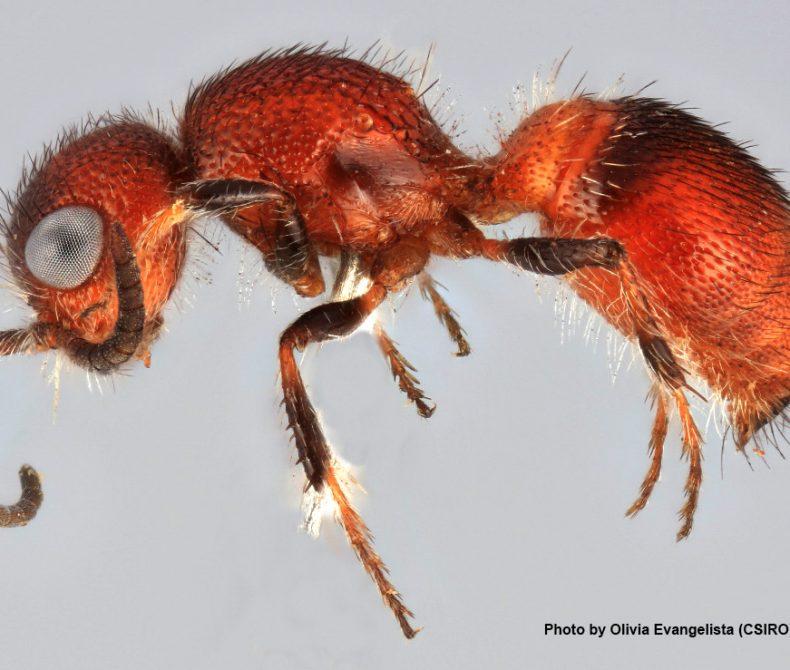 image of a velvet ant specimen