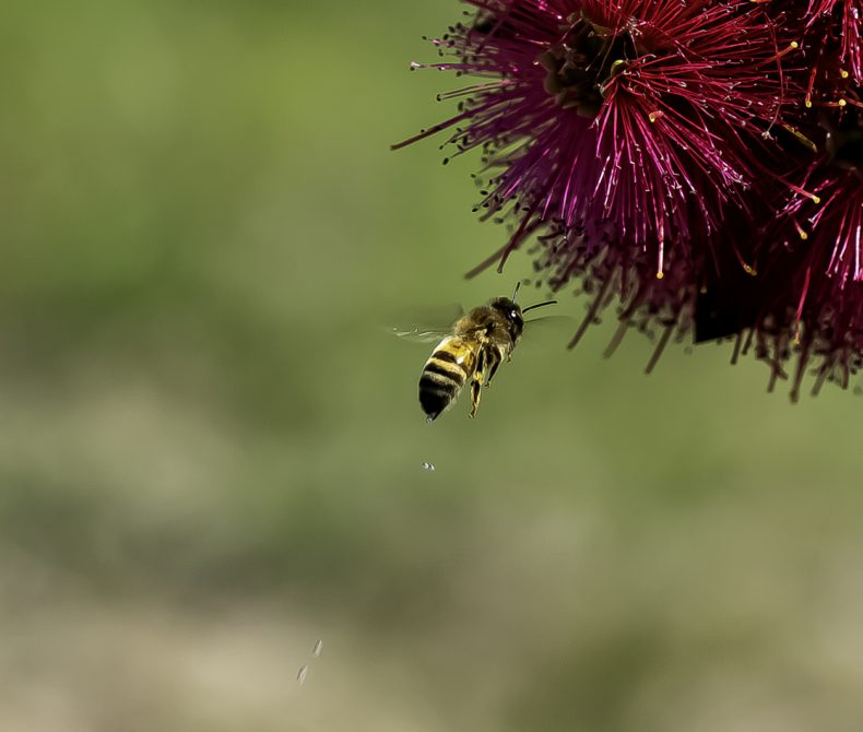 Image of European Honey Bee