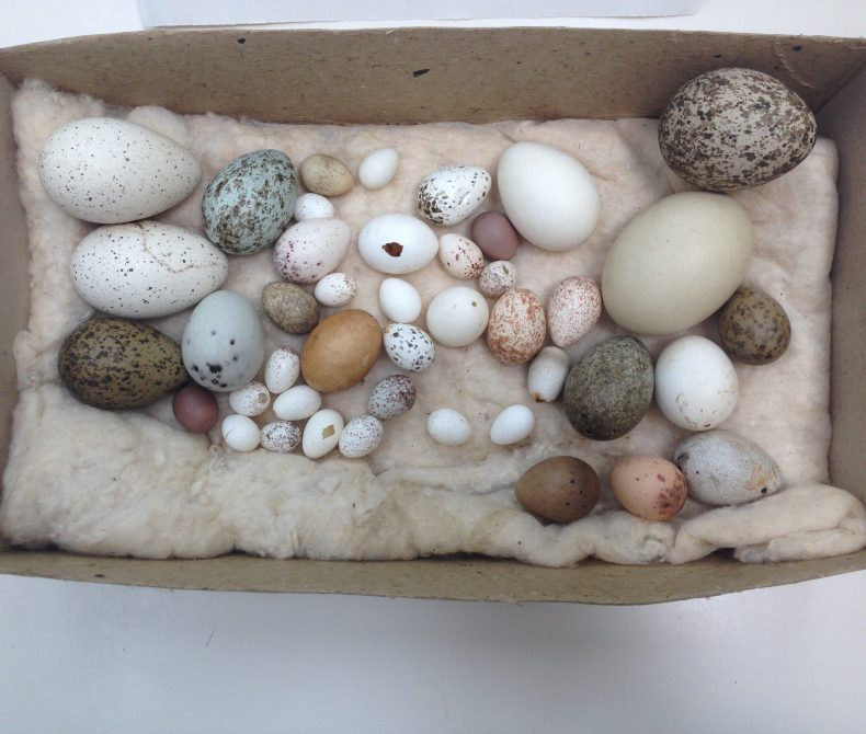 Bird eggs in a tray