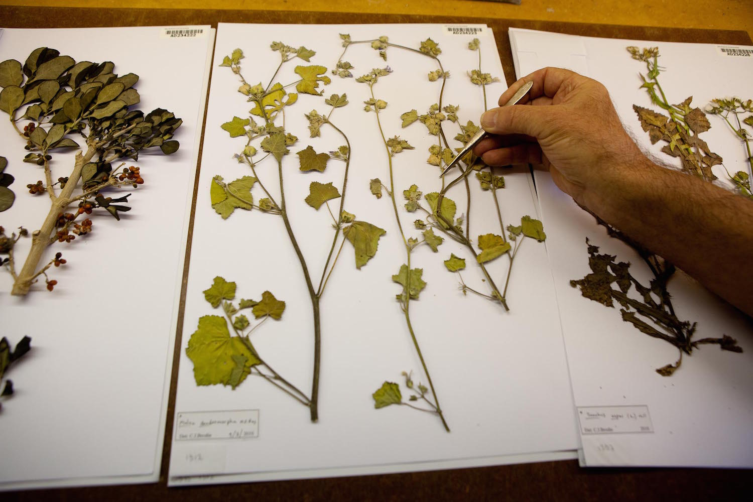 As well as making collections data available online, museum and herbarium collections are visited by researchers who need to inspect the specimens in person. Copyright: State Herbarium of South Australia.