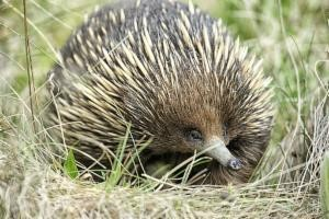 Image: Tracking elusive echidna populations