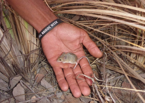 Image: Indigenous knowledge helps fill ecological information gaps in remote Arnhem Land: but is it too late for small mammals?