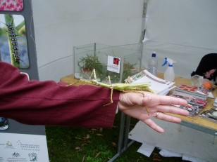 ANBG Open Day 2010 - Annette holding the stick insect