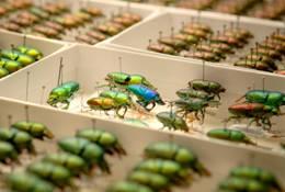 Stag Beetles, Lamprima spp. Photo Carl Bento © Australian Museum