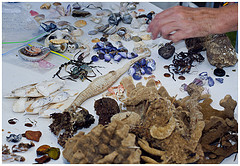 Sorting specimens found on the beach survey at Bermagui Bioblitz