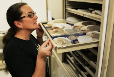 An Australian Museum staff member inspects a tray of shells.
