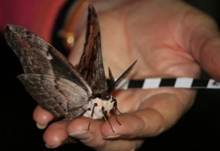 Large moth sitting on a person's hand