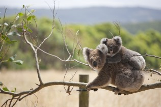Two koalas sitting on a branch