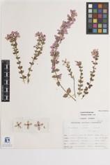 Curator Dr Gillian Brown's favourite specimen: Tetratheca ciliata (MELU D015072a)