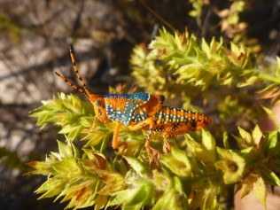 Photo of Leichhardt's Grasshopper