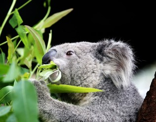 Close up photo of a koala eating leaves