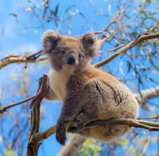 Photo of koala in a tree looking down