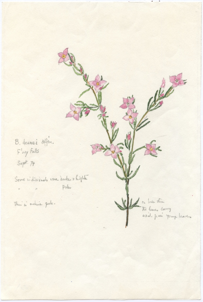 An illustration of Boronia deanei, one of approximately 1500 botanical illustrations prepared by Janet Cosh. (photo courtesy of the University of Wollongong)