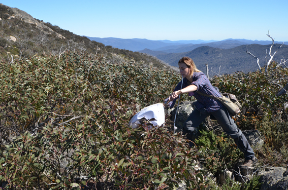 Jacqueline Karras (PhD student University of New South Wales) pooters for Heteroptera (true bugs) in Namadgi National Park, Australian capital Territory, photo Michael Preece © Copyright, Department of the Environment.