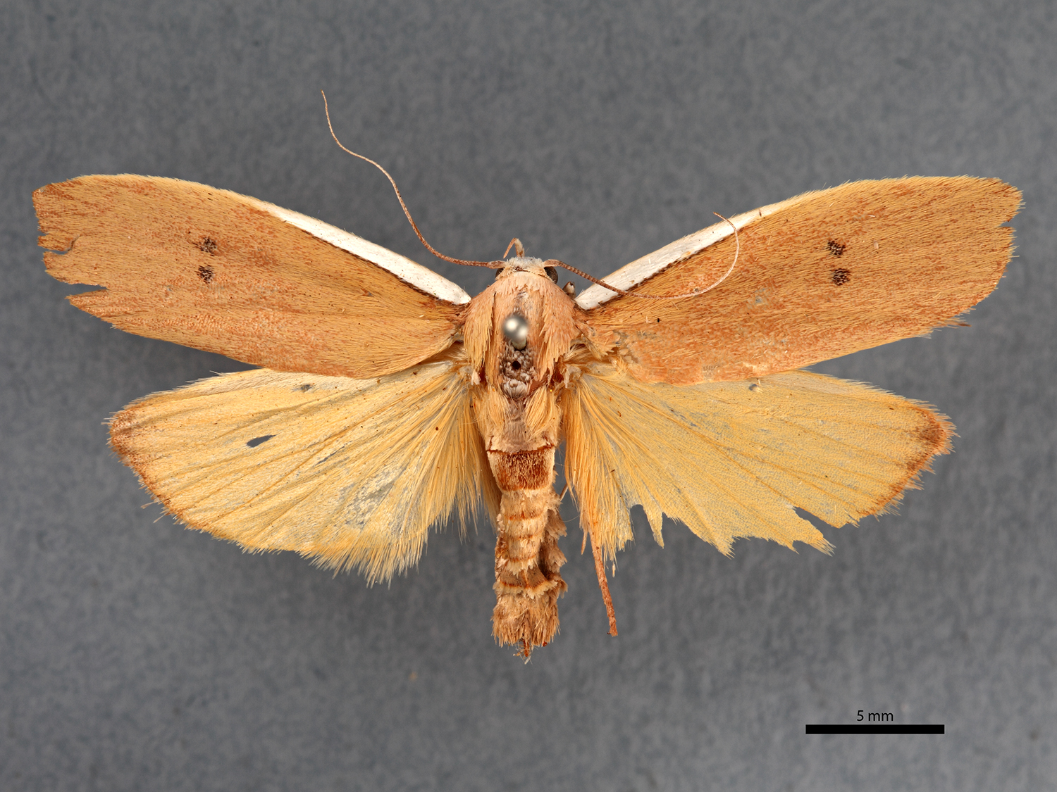 This type specimen of Cryptophasa citrinopa, was collected in Broken Hill in 1914. Natural History Museums care for type specimens to ensure their safety and perpetual availability for future researchers to refer to and review.