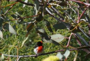 The Red-Capped Robin is found in a range of Australia's ecoregions Photo: Lou Kidd - ALA Individual sightings