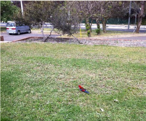 Crimson Rosella spotted outside a workplace