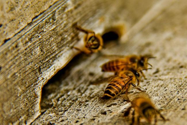 Pest insect: Asian honey bee Apis cerana java. Photo: wikipedia via ALA species profile