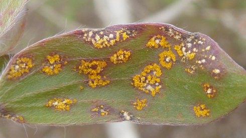 Plant disease: Myrtle Rust Uredo rangelii. Photo: Angus Carnegie via CSIRO ECOS Magazine