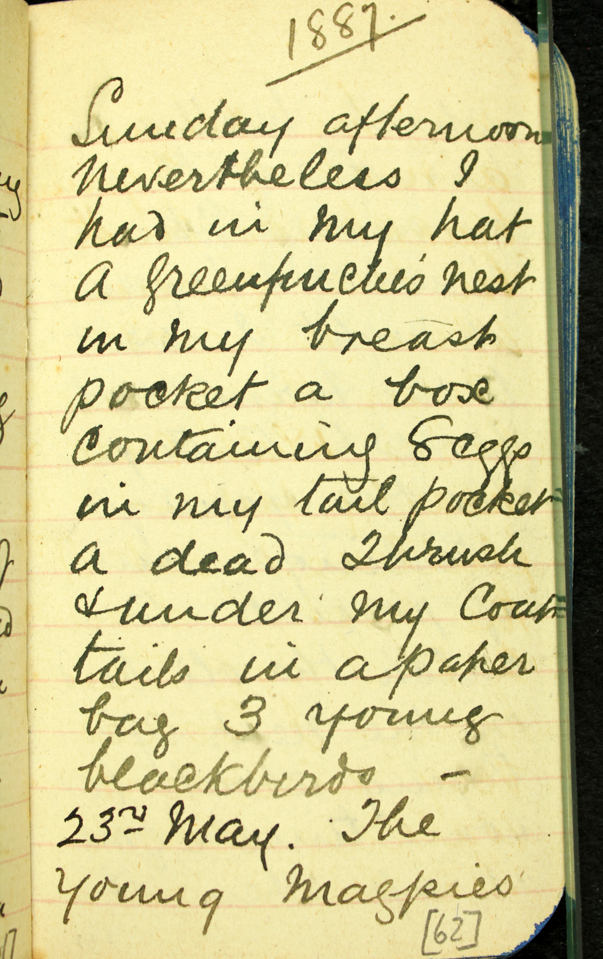 Transcription from one of Megan's favourite Edgar White diary pages. 1887/05/22 In the ground when we got near the young birds which could nearly fly.- fluttered out of the nest. I ♂[male] and 2 ♀[female] I took them home. I looked very innocent walking down the lane on a Sunday afternoon nevertheless I had in my hat a Greenfinche's nest in my breast pocket a box containing 8 eggs in my tail pocket a dead thrush &[and] under my coat tails in a paper bag 3 young blackbirds. on arriving home I had a bath put my trousers into a tub and went to bed. Photo: Australia Museum DigiVol
