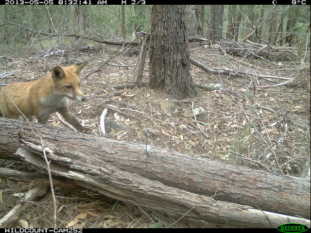 A Fox capture photographed during WildCount
