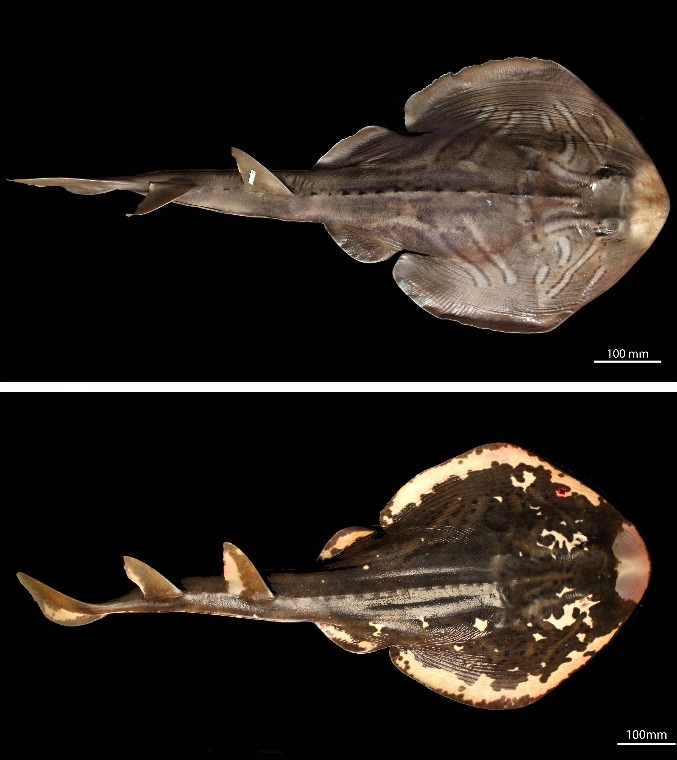 Visually different but what about genetically? Top: Southern Fiddler Ray specimen (SAMA F13961: Trygonorrhina dumerilii (Castelnau 1873)) Bottom: Magpie Fiddler Ray specimen (SAMA F13928: Trygonorrhina melaleuca Scott 1954)
