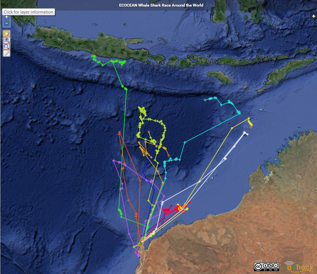 A screenshot of the whale shark race: showing tracked movements between July 30 - Sept 14 2015