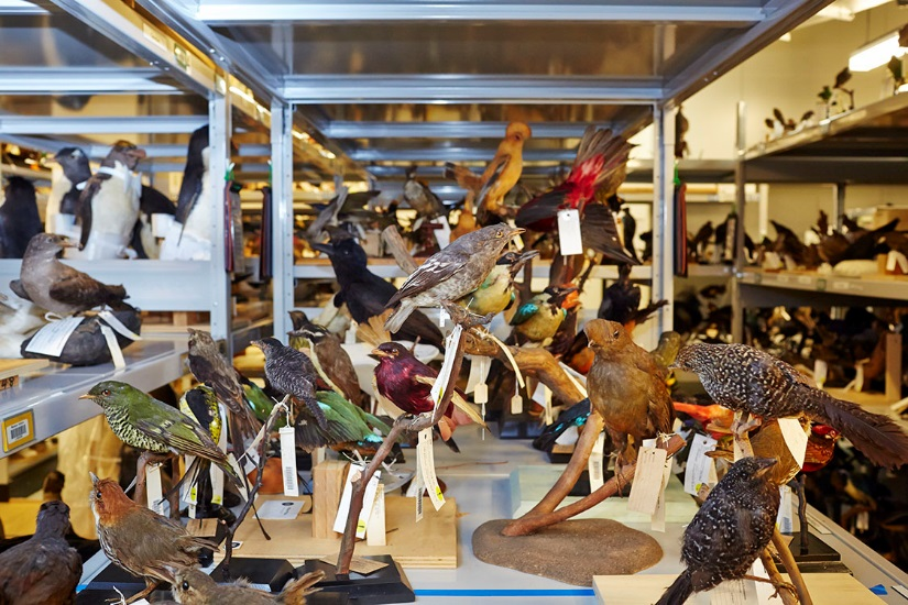 Bird mounts in one of Museum Victoria's Ornithology collection stores. Photographer: Benjamin Healley / Copyright Museum Victoria CC BY-NC