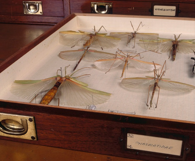 Stick Insect specimens in the Museum Victoria Entomology collection. Photographer: John Broomfield / Copyright Museum Victoria CC BY