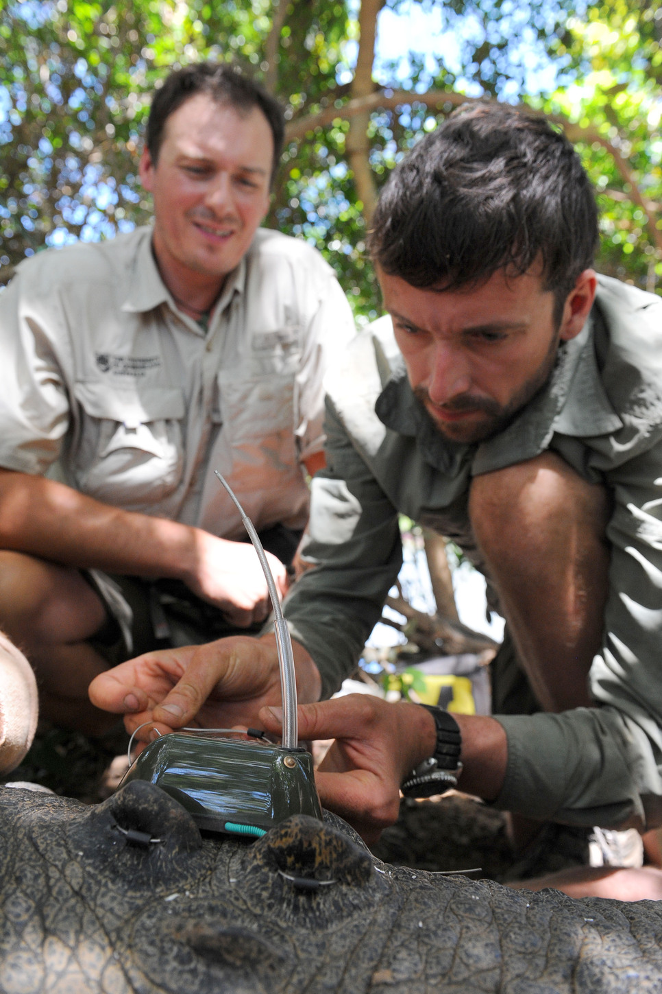 ZoaTrack researchers R. Dwyer (front) and H. Campbell (back) attaching a tracking device to a wild saltwater crocodile. Photo credit: Ben Beaden (Australia Zoo)