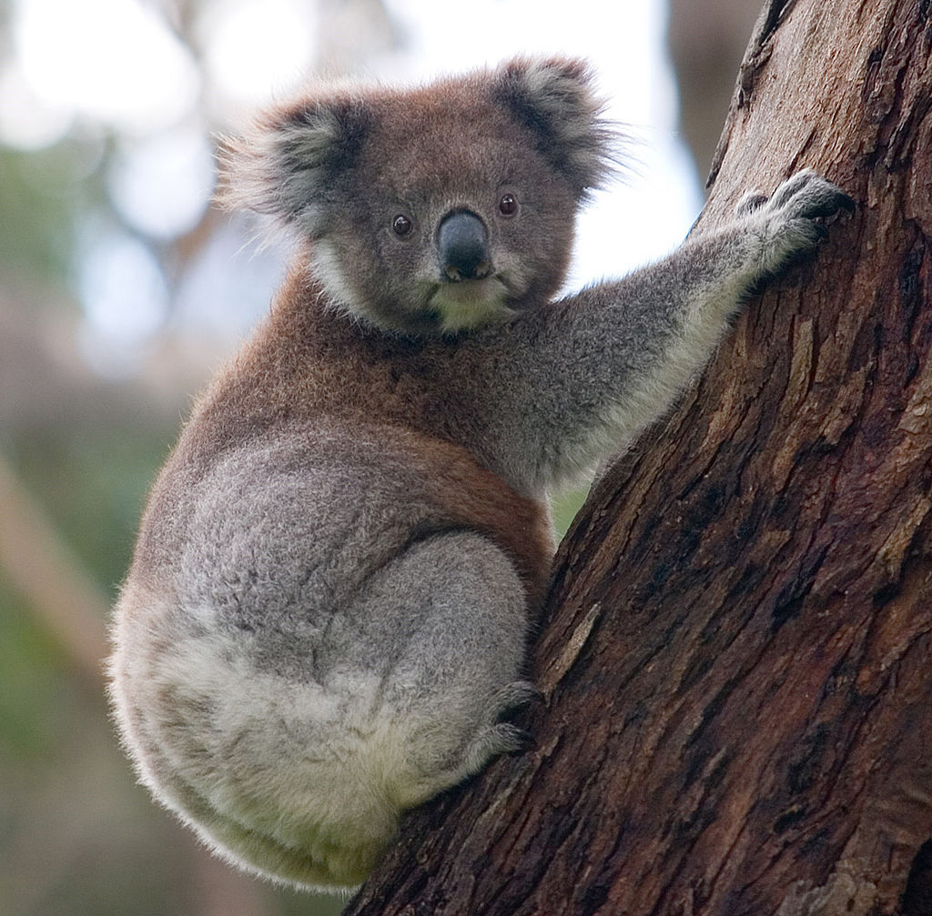 Koala Phascolarctos cinereus. Photo: David Iliff License: CC-BY-SA 3.0