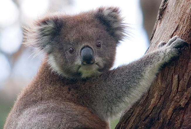 Image: Counting Koalas Across the Country: Citizen Science
