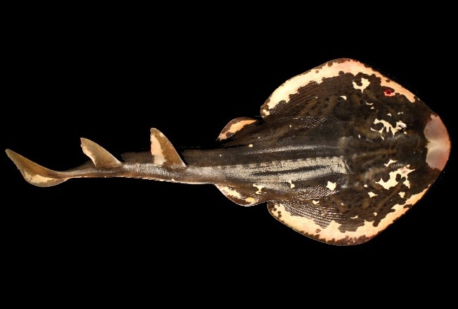 Image: The South Australian Museum and the Fiddler Rays:  A taxonomic riddler