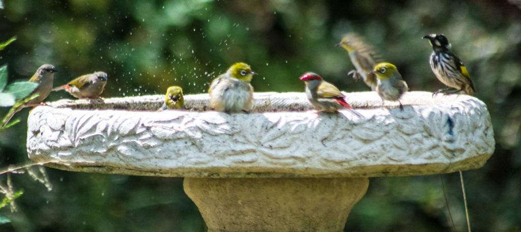Image: Australia's bathing birdies
