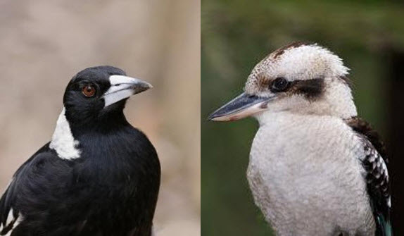 Images of and Australian Magpie and a Laughing Kookaburra