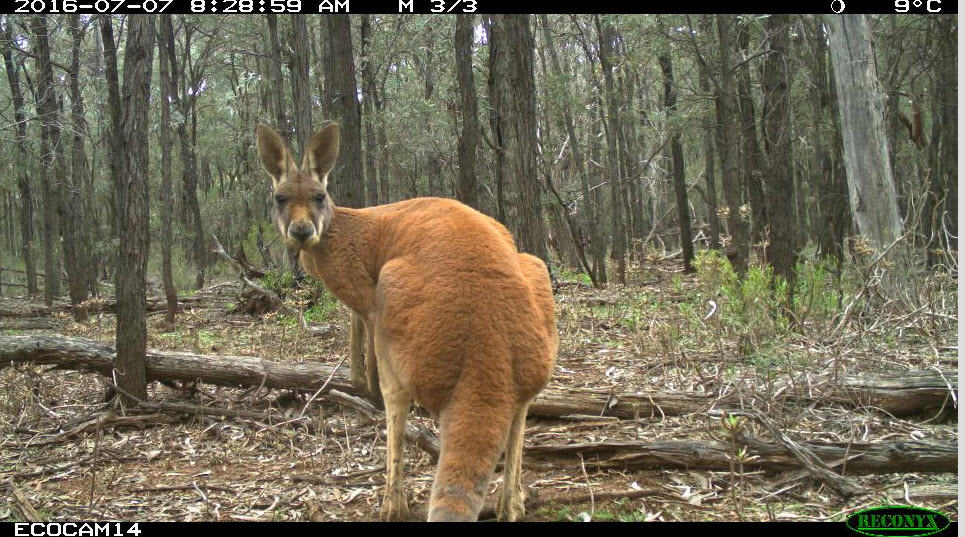 A Red Kangaroo is spotted by a camera trap