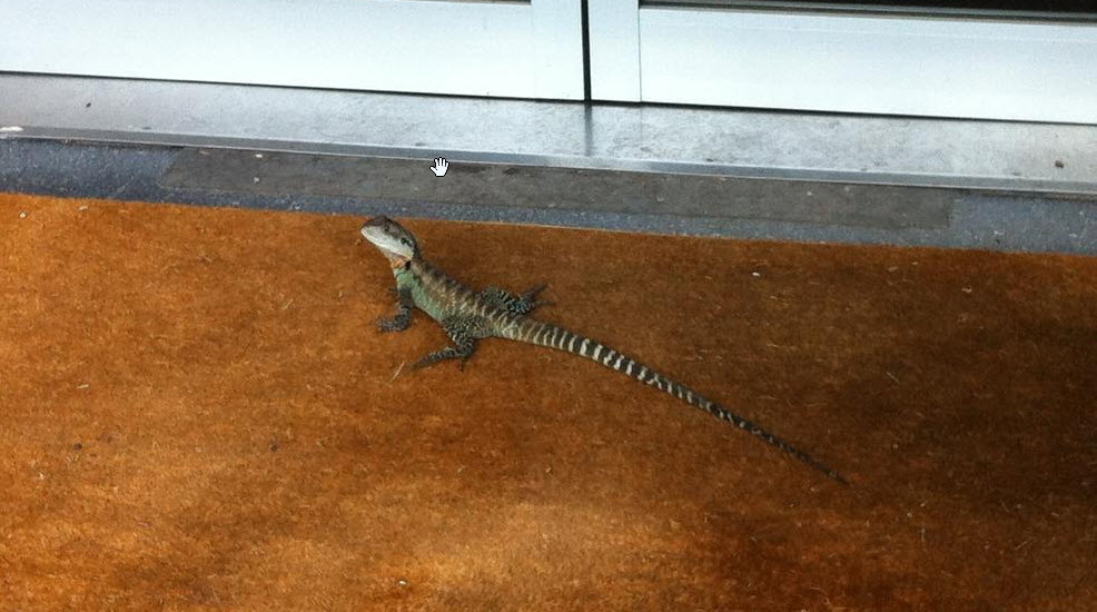 Eastern Water Dragon spotted outside a workplace.