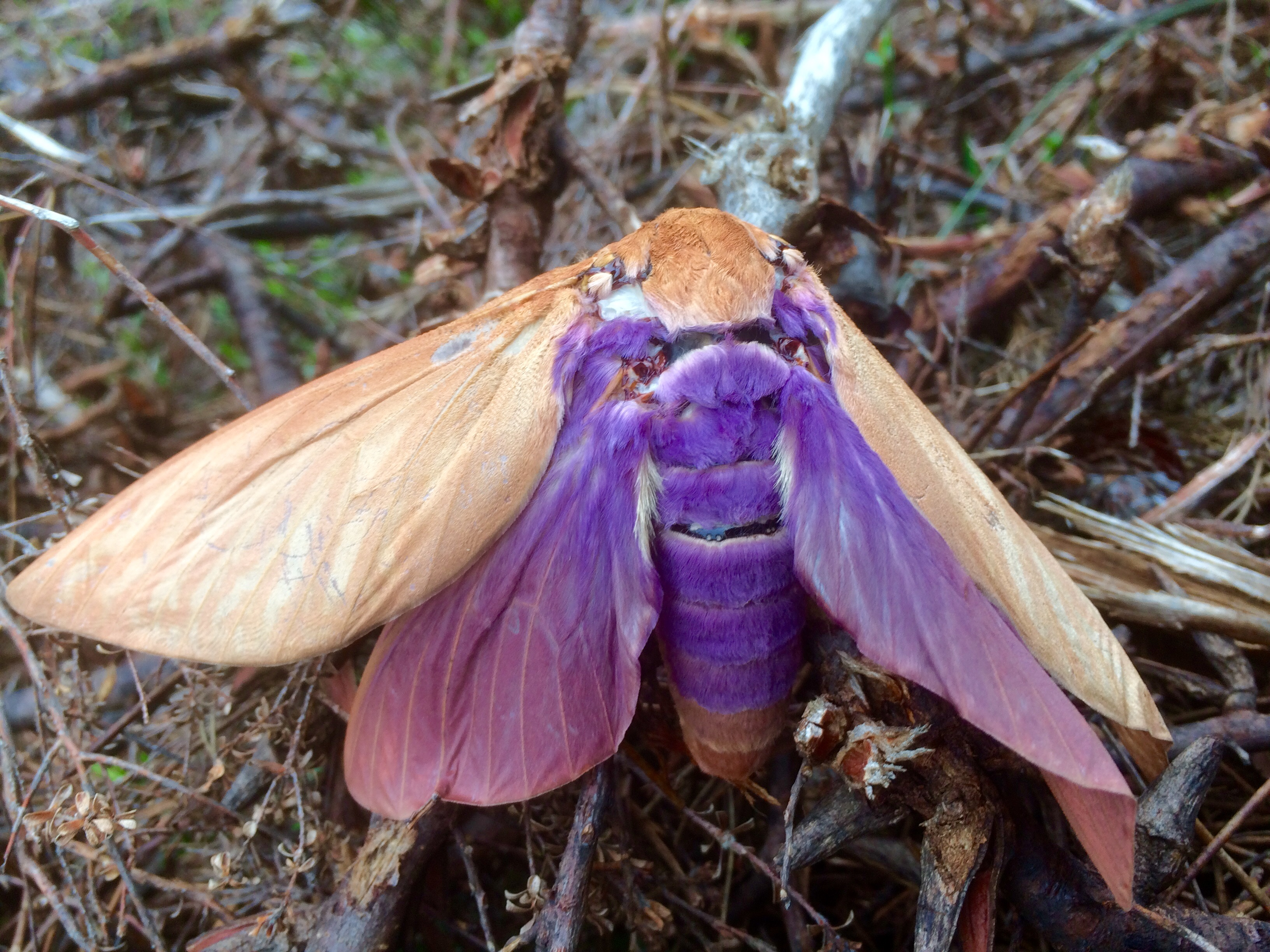 Moth image by David Middlebrook in the Blue Mountains NSW